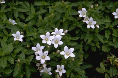 Klokje - Campanula lactiflora 'White Pouffe'