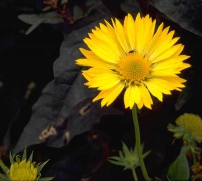 Kokardenbloem - Gaillardia 'Aurea Pura'