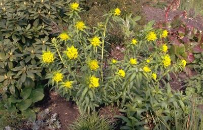 Moeraswolfsmelk - Euphorbia palustris 'Walenburg's Glorie'