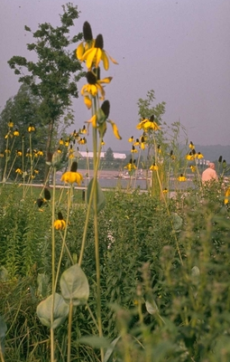Rudbeckia - Rudbeckia maxima