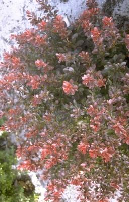 Japanse zuurbes - Berberis thunbergii 'Atropurpurea Nana'