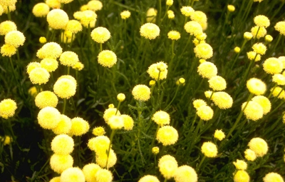 Cipressenkruid - Santolina rosmarinifolia