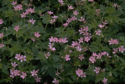 Ooievaarsbek - Geranium x oxonianum 'Southcombe Double'