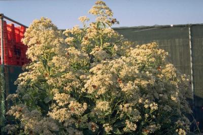 Koninginnenkruid - Eupatorium maculatum 'Album'