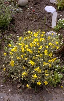Toorts - Verbascum 'Letitia'