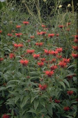 Bergamotplant - Monarda 'Squaw'
