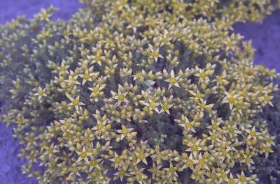 Muurpeper - Sedum acre