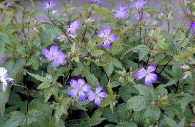 Ooievaarsbek - Geranium nodosum 'Swiss Purple'