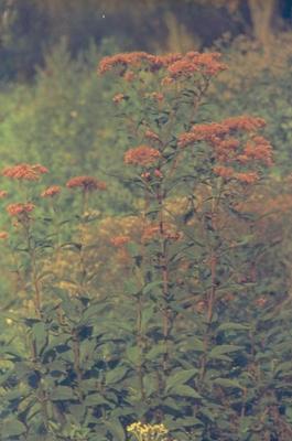 Purper leverkruid - Eupatorium purpureum