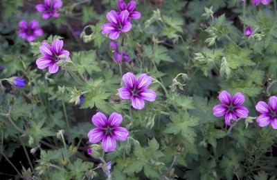 Ooievaarsbek - Geranium 'Sue Crug'