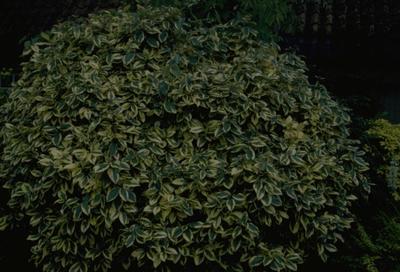Stekelige olijfwilg - Elaeagnus pungens 'Goldrim'