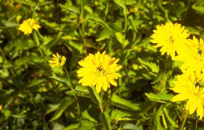 Zonneoog - Heliopsis helianthoides 'Goldgrünherz'
