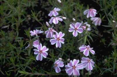 Flox - Phlox 'Candy Stripes'