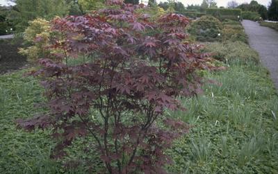Japanse Esdoorn - Acer palmatum 'Bloodgood'