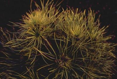 Pinus sylvestris 'Moseri'
