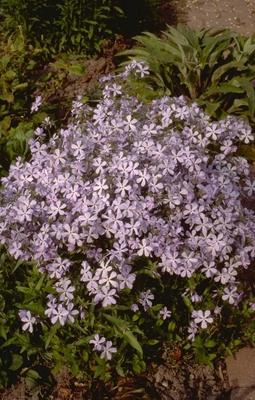 Voorjaarsvlambloem - Phlox divaricata 'Blue Dreams'