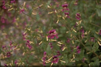 Cuphea pallida
