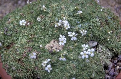 Gypsophila aretoides 'Caucasica'