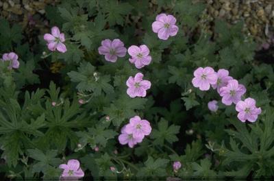 Ooievaarsbek - Geranium x riversleaianum 'Mavis Simpson'