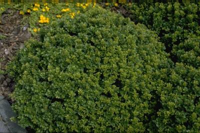 Zuurbes - Berberis buxifolia 'Nana'