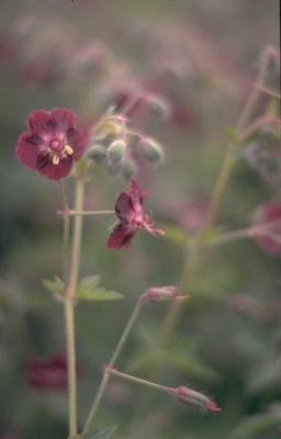 Donkere ooievaarsbek - Geranium phaeum var. purpureum
