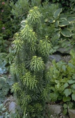 Knoptaxus - Cephalotaxus harringtonia 'Fastigiata'