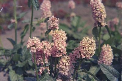 Ezelsoor - Stachys officinalis 'Rosea'