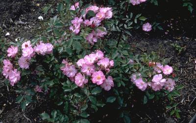 Heesterroos - Rosa 'Interlav'