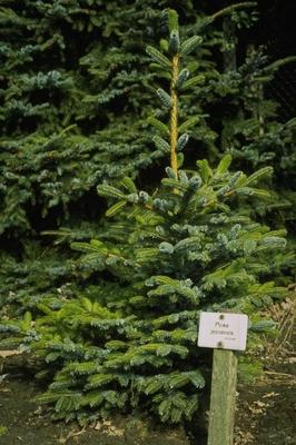 Canadese spar - Picea glauca 'Coerulea'