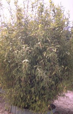 Bamboe - Fargesia murieliae