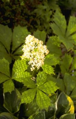 Schout-bij-nacht - Rodgersia podophylla