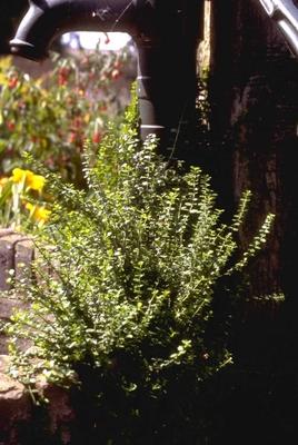 Japanse kardinaalsmuts - Euonymus fortunei 'Minimus'
