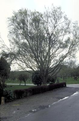 Slangenwilg - Salix babylonica 'Tortuosa'