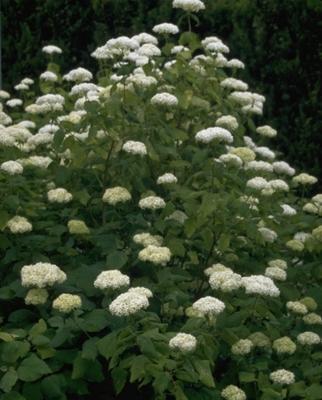 Hortensia - Hydrangea Arborescens 'Grandiflora'