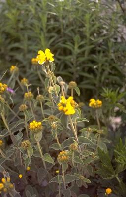 Brandkruid - Phlomis fruticosa