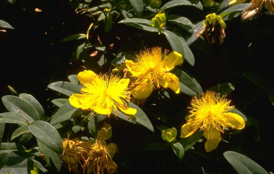 Hertshooi - Hypericum calycinum