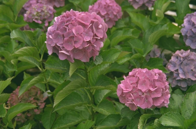 Pluimhortensia - Hydrangea macrophylla 'Bouquet Rose'