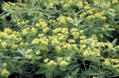 Wolfsmelk - Euphorbia schillingii