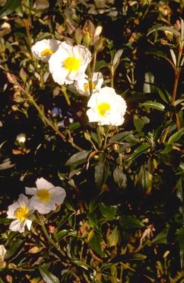 Rotsroos - Cistus laurifolius