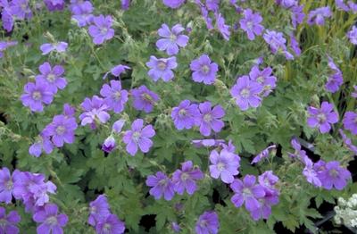 Ooievaarsbek - Geranium 'Sirak'