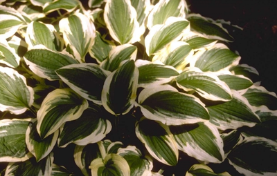 Hartlelie - Hosta 'Ground Master'