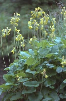 Sleutelbloem - Primula florindae
