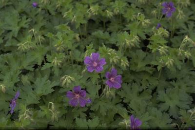 Ooievaarsbek - Geranium ibericum
