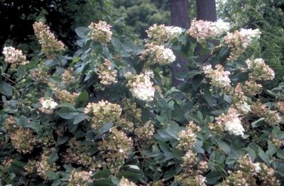 Hortensia - Hydrangea paniculata 'Pink Diamond'
