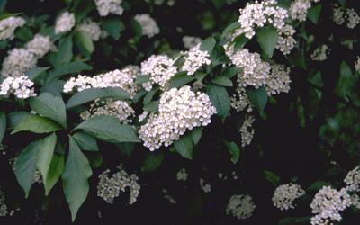 Glansmispel Photinia villosa var. laevis