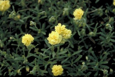 Zonneroosje - Helianthemum 'Sulphureum Plenum'