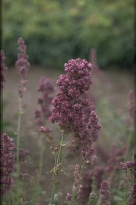 Salvia nemorosa 'Pußtaflamme'