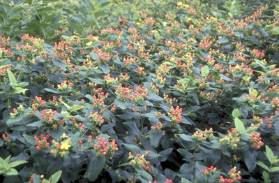 Hypericum 'Magical Flame'