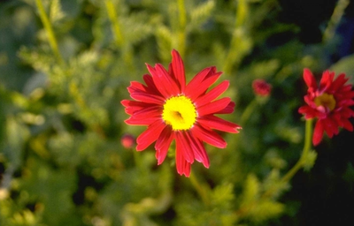 Wormkruid - Tanacetum 'Robinson's Red'