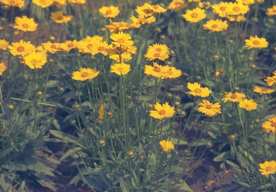 Meisjesogen - Coreopsis grandiflora 'Sonnenkind'